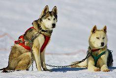 Perros de trineo en Formigal