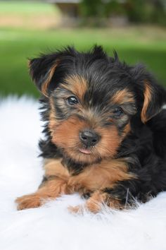 Lancaster Puppies, Yorkshire Terrier Puppies, Fun Loving, Mans Best Friend, Puppy Love, Cuddling, Pets, Animals, Physical Intimacy