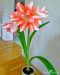 Begonia, Flora, Gardening, Rose, Plants, Sad, Balcony, Flowers, Lawn And Garden