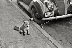 Pet Fox Tied to a Car - Moorehead Minnesota - 1940 - Black and White Photograph - Vintage Photography - Fox - Street Photography - Art Photo Library Of Congress, Purple Rain, Old Photos, Vintage Photos, Antique Photos, Ford Fox, Shorpy Historical Photos, Historical Images, Fennec