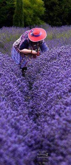 Fields of fragrant lavender Lavender Cottage, Lavender Blue, Lavender Fields, Lavender Flowers, Purple Flowers, Lavender Garden, Fotografia Pb, Beautiful Gardens, Beautiful Flowers