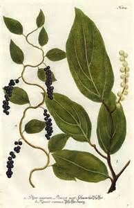 Johann Weinmann Black Pepper Plant - still life quick heart Black Pepper Plant, Pepper Plants, Web Design, Life Paint, Victorian Flowers, Plant Illustration, Medicinal Plants, Botanical Prints, Painting Inspiration