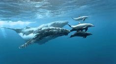 Humpback whales and bottlenose dolphins are known to play together. Observed off the coast of Hawaii, whales lifted dolphins high into the air so the dolphins could use the whale's head as a slide back into the water. via tea_and_biology Bottlenose Dolphin, Humpback Whale, Save The Whales, Delphine, Underwater Life, Am Meer, Whale Watching, Animals Of The World, Dolphins