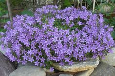 campanula  - giardino roccioso