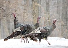 Turkey Hunting Tips: Winter Scouting for Better Spring Hunting   Field & Stream