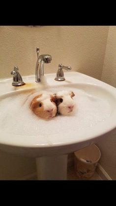 Guinea pigs taking a bath : aww
