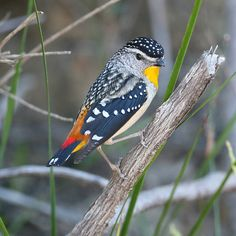 https://flic.kr/p/5wv4u8 | Spotted Pardalote | Quite a small bird.  One of my Field Guides describes it as big as a gum leaf, which they are often obscured by as they eat scale and other insects in mainly Eucalyptus trees.  They nest in earthern banks, lining the end of their burrow with stringy bark.  This male was near a nesting burrow this morning along the road near our home.