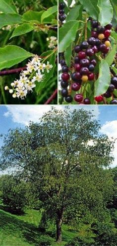 Wild Black Cherry Tree