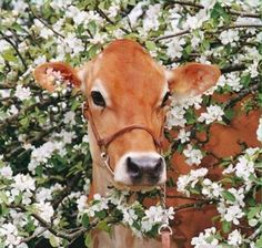 The Jersey cow: the breed that Grandma and Grandpa used to have on their dairy farm. She says the best kind of cow to have. Great milk and excellent temperament. Farm Animals, Animals And Pets, Cute Animals, Pretty Animals, Wild Animals, Zebras, Beautiful Creatures, Animals Beautiful, Baby Cows