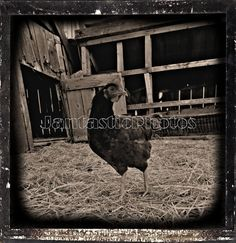 Oldtime Chicken: Digitally aged photograph of a by JantasticPhotos
