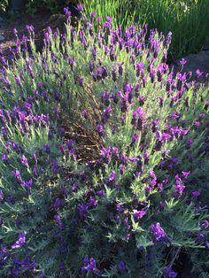 Lavender -- French