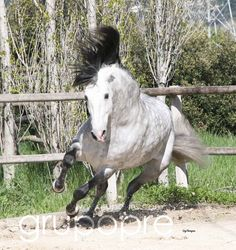 Andalusian stallion Nero AM displays the fleetness of foot that often kept these Spanish horses out of harm's way while bullfighting.