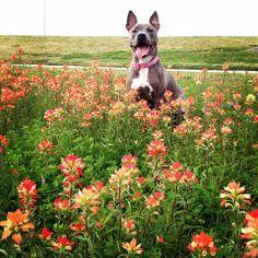 Beatrix at the lake + some flirt pole *pics/vid* Best Dog Breeds, Best Dogs, Cute Pitbulls, Nanny Dog, Pitt Bulls, American Pitbull, Best Kisses, Dog Games, Pit Bull Love