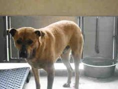 NO LONGER AVAILABLE. A524686 (RESCUE ONLY) Devore Shelter URGENT is an adoptable Shepherd Dog in San Bernardino, CA. Will you save me and allow me to become a member of your family