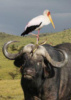 Cape Buffalo, Masia Mara, Kenya.  Put a bird on it!