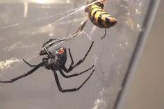 Pauk i osa u paukovoj mreži (28)