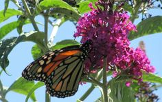 Monarch on a butterfly bush. Photo by Rachel Jensen