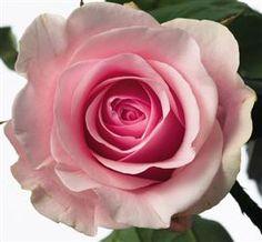 Rosor finns i stort utbud under hela året, i de flesta längder och färger, även som FairTrade-odlade.