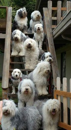 old english sheep dogs oh my lanta Cute Puppies, Cute Dogs, Dogs And Puppies, Doggies, Chien Bobtail, Big Dogs, I Love Dogs, Perros Rat Terrier, Beautiful Dogs