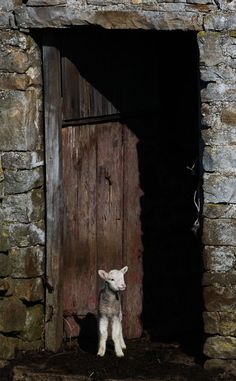 Schleeping Sheepies!!  Stone barn and lamb, Swaledale - Swaledale Yorkshire England