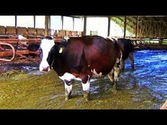 Dairy Farm Exposed in Eyewitness Footage: After a disturbing tip, PETA visited a farm that supplies milk to supermarket chain Harris Teeter and found emaciated cows in pain trudging through deep manure: http://investigations.peta.org/north-carolina-dairy-farm-harris-teeter