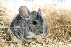Rodney is a cheeky 2 year old male chinchilla who came into RSPCA care after his owner could no longer look after him.Rodney is a happy friendly fella . Guinie Pig, Chinchilla Food, Animals Beautiful, Cute Animals, Alfalfa Hay, Blue Cross, Food Reviews, Types Of Food, Gliders