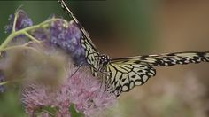 Wat zijn tropische vlinders toch prachtig! Kijk je ogen uit in deze clip.