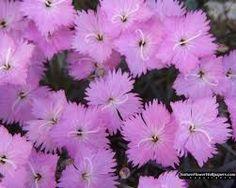 Imagini pentru dianthus