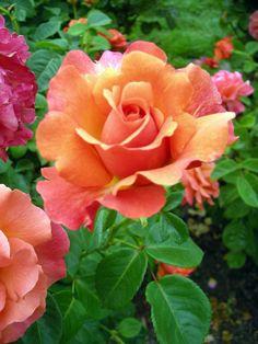 In the Rose Garden, Portland, Oregon, Photograph by Paula Bates