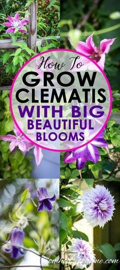 This Clematis care guide is AWESOME! It tells you how to grow Clematis, how to prune Clematis and what varieties will do well in your garden. #clematis #clematiscare #clematispruning