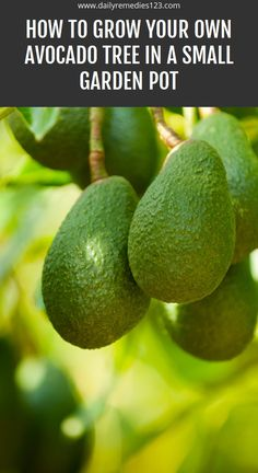 How to Grow Your Own Avocado Tree in a Small Garden Pot Health Benefits, Health Tips, Health Care, Natural Home Remedies, Herbal Remedies, Avocado Tree, Receding Gums, Health Vitamins