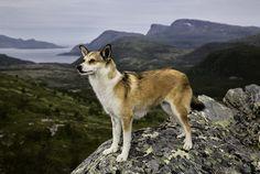 Norwegian Lundehund. By Andrew Fladeboe.