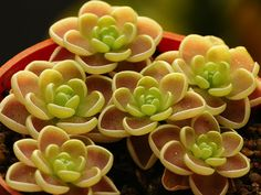 How to Grow and Care for Butterwort - See more at: http://worldofsucculents.com/grow-care-butterwort