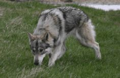 I WILL have one of these (or an Utonagan or a Wolf Dog) Anything that resembles a wolf (my favorite animal). Farm Animals, Cute Animals, Northern Inuit Dog, Companion Dog, Alaskan Malamute, Big Dogs, Cherokee, Dog Breeds, Wolf