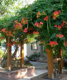 Trepadoras para pantallas y pérgolas 3. Campsis grandiflora, caduca, de porte ancho (combinaría mal con el trachelospermum, que se extiende más plano)