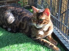 Interviews with Celebrity Cats: Percy the Glitterglam Bengal