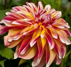 Dahlia 'Caribbean Fantasy' - available from the Persistent Gardener