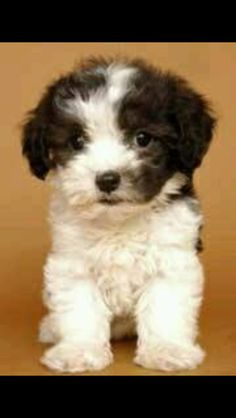 Malti-Poo (Maltese + Poodle) We have one of these lovely babies and she is wonderful ! Baby Puppies, Baby Dogs, Cute Puppies, Cute Dogs, Dogs And Puppies, Doggies, Baby Animals, Funny Animals, Cute Animals