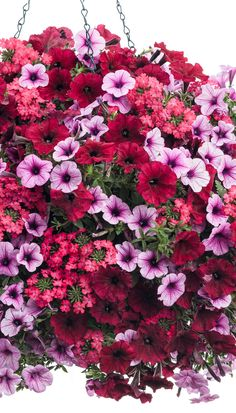 Pinks, purples and reds - oh my! This hanging basket recipe features plants with blooms in analogous colors creating a beautiful and fun combination. The textured blooms of Iced Cherry verbena contras Succulents In Containers, Container Flowers, Flower Planters, Container Plants, Container Gardening, Flower Pots, Fall Planters, Vegetable Gardening, Plants For Hanging Baskets