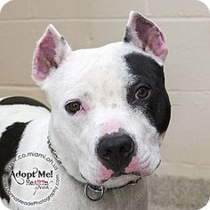 URGENT!  I am at a kill shelter in Troy, OH - Pit Bull Terrier Mix. Meet Sparky, a dog for adoption. http://www.adoptapet.com/pet/11135274-troy-ohio-pit-bull-terrier-mix