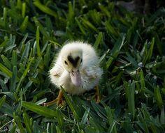 Fuzzy duckling!