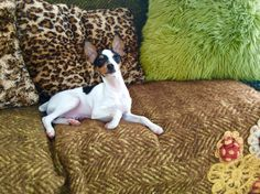 What's that Toy Fox Terriers, Boston Terrier, Dogs, Animals, Animais, Animales, Animaux, Pet Dogs, Boston Terriers