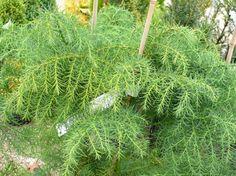 CRYPTOMERIA japonica Elegans Viridis : feuillage estival. Gardens, Fast Growing, Fishing Line