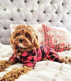 Cavapoo Puppies: Information, Features, Facts, Videos - Dog for Apartments Cavapoo Puppies, Yorkie Dogs, Cavoodle Dog, Poodle Puppies, Cockapoo, Cute Little Puppies, Cute Dogs And Puppies, Fluffy Puppies, Doggies