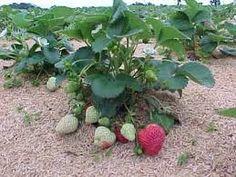 Resultado de imagem para como plantar morangos em vasos