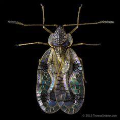 Azalea lace bug - St...