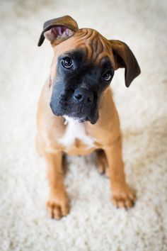 Boxer Puppy -- For Puppy Fridays from Underdog Rescue of Arizona