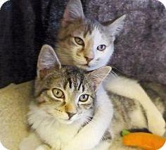 Westampton, NJ - Domestic Longhair. Meet Foster Kittens!!!, a kitten for adoption. http://www.adoptapet.com/pet/11267168-westampton-new-jersey-kitten