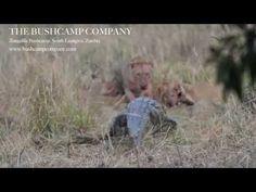 Lion and Crocodile fight over an impala kill at Zungulila Bushcamp, South Luangwa, Zambia