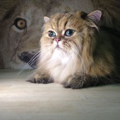 """THE MAIN LION Cat Grooming Salon - """"Join Our Pride Of Satisfied Clients"""" - CAT GROOMING, PAOLI PA"""